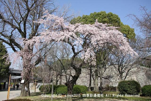 大阪城しだれ桜