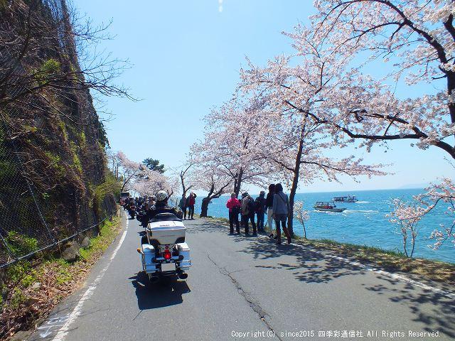 海津大崎桜2s