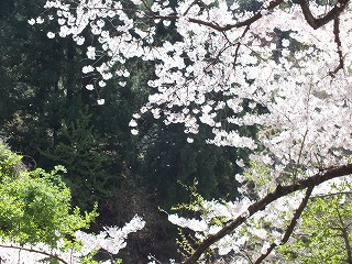 海津大崎桜1